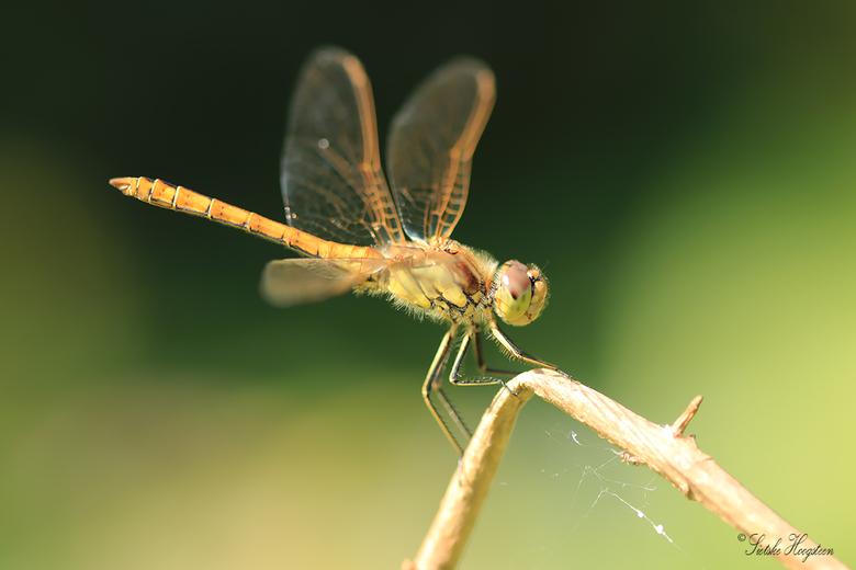 Heidelibel  - Een heidelibel op een takje in mijn eigen tuin.