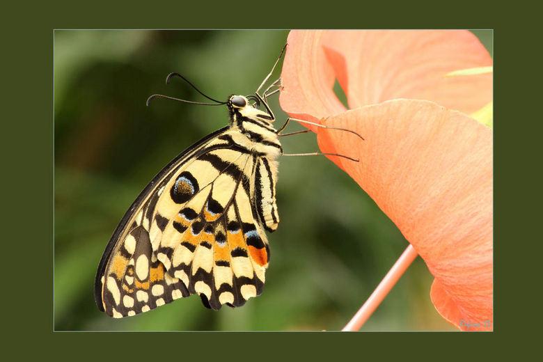 vlinder - Vlinder gefotografeerd in Spanje, vlindertuin. Op dat deze tijdens het uploaden wel scherp blijft. Bij de vorige werd scherpte gemist terwij
