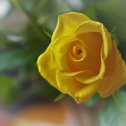 Yellow rose in perspective