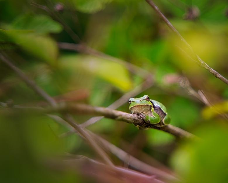 Europese boomkikker - Europese boomkikker in Wassenaars natuurgebiedje