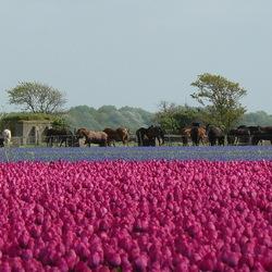 Horses in purple