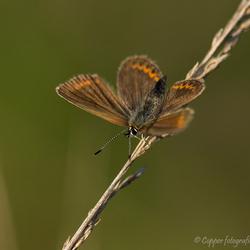 Heideblauwtje ♀