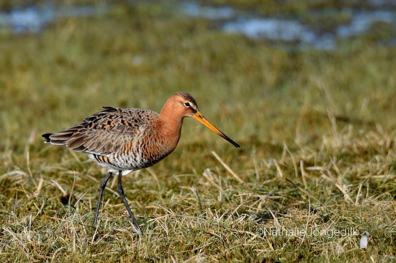 Grutto - De koning van het weidelandschap, de Grutto. Eén van mijn favoriete vogels is weer terug in het Lauwersmeergebied.