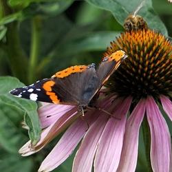 20190807_182511atalanta vlinder en bij