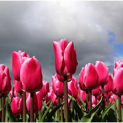 Tulpenpracht...