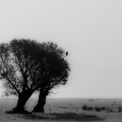 Donana zwarte wouw in landschap zw + korrel