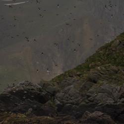papegaaiduikers in kolonie Noorwegen