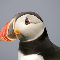 Papegaaiduiker close-up