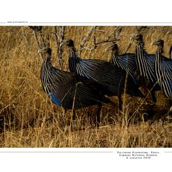 Vulturine Guineafowl, Kenia
