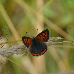 Lycaena Phlaeas.