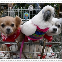 V.l.n.r.: Chihuahua Vicky, Witkuifkaketoe Maxi & Chihuahua Lisa in winkel-kar.