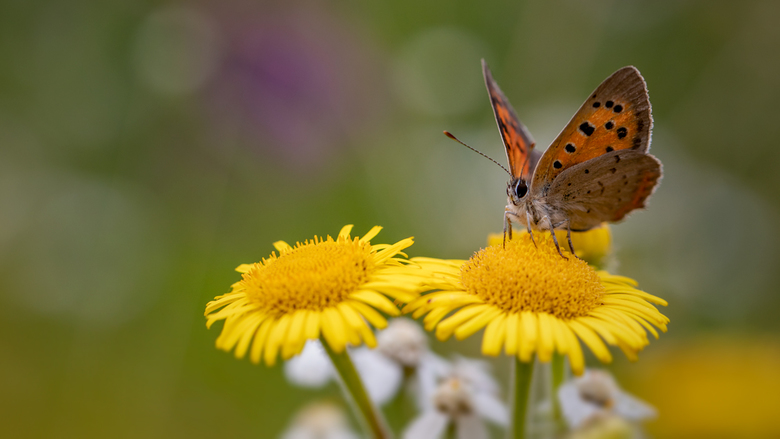 Papillon de feu