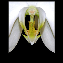 orchidee....