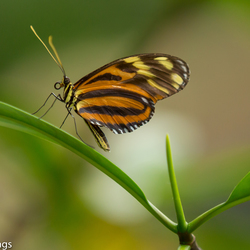 Mangrove_Vlinder
