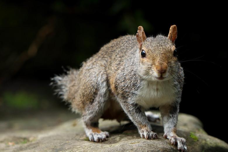 Eekhoorn zonder staart -