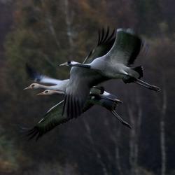 Kraanvogels in vlucht