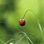 Veelkleurig Aziatisch lieveheersbeestje Harmonia axyridis