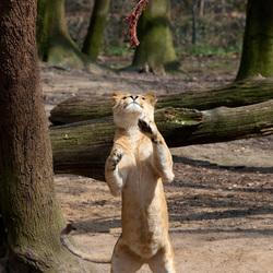 Leeuw in Burgers Zoo