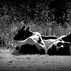Koeien in gedachten