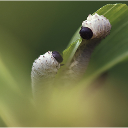 Larve van de Salomonszegelbladwesp