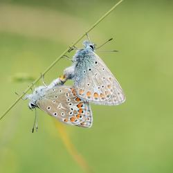 Bezige bijtjes......................vlinders Icarus