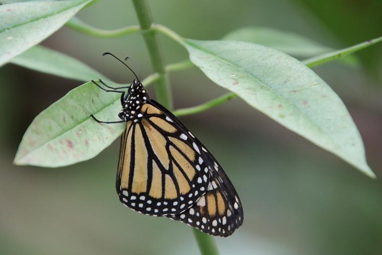 Monarchvlinder 2.0  - Bedankt voor de reacties en feedback op mijn vorige uploads! Dit waardeer ik zeer.