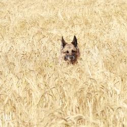 Herder in het graan