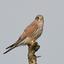 Torenvalk (Falco tinnunculus).