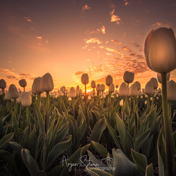 Gouden tulpen