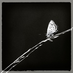 Heideblauwtje (Z/W)