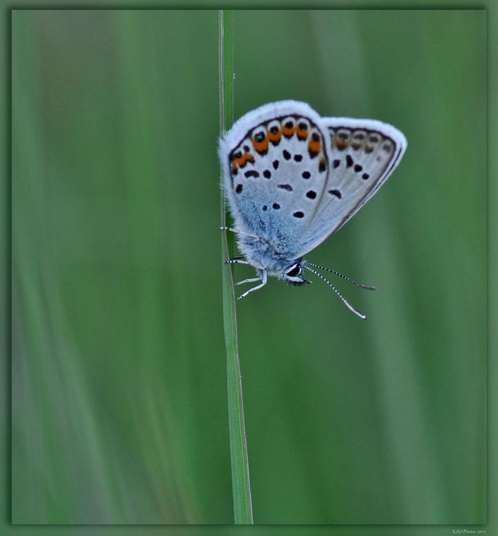 Heideblauwtje ♂ - Even een macro tussendoor.<br /> Vorig jaar gemaakt tijdens de Zoomdag bij Gea en Frans<br /> <br /> Bedankt voor jullie reacties