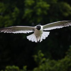 Vliegende Meeuw