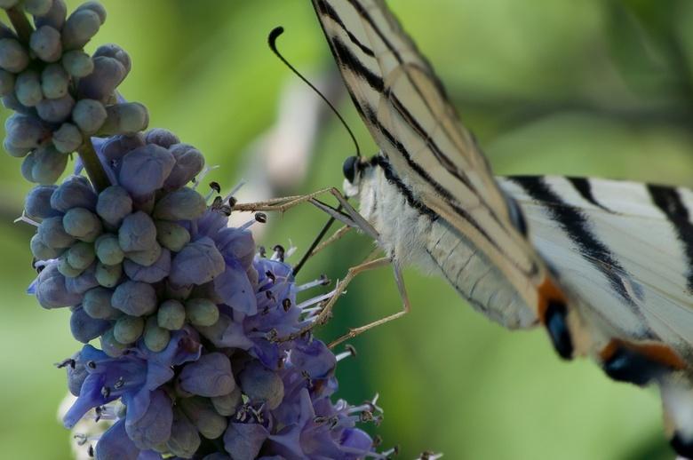 Vlinder - Vlinder. Gefotografeerd in Griekenland.