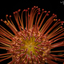 African protea