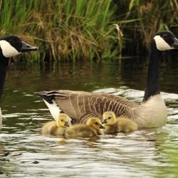 Jong gezin Canadese ganzen in Friesland