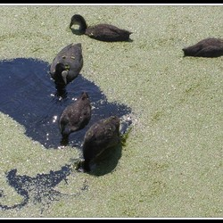 Familie Waterhoentjes