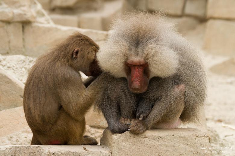 Bavianen - Twee bavianen zijn elkaar aan het ontvlooien in dierentuin Wildlands.