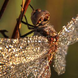 zilveren libelle
