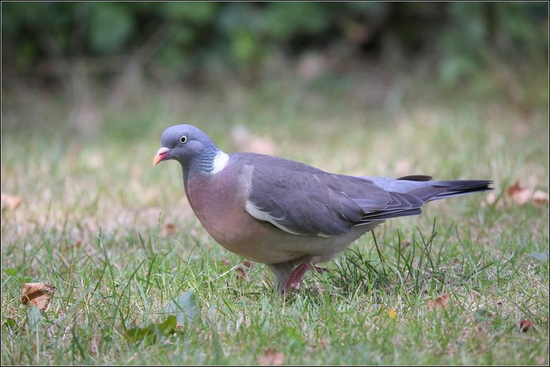 Houtduif - De houtduif is de grootste en meest voorkomende duif in Nederland. Hun voedsel bestaat uit plantaardig materiaal (zaden, bladeren e.d.) en