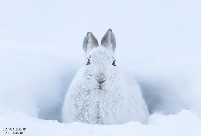Mountain hare - Mountain hare