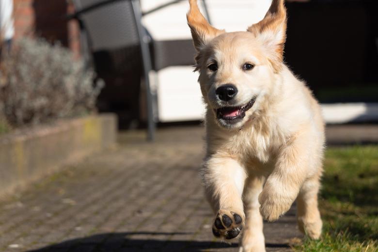 golden retriever puppy - dit is mijn puppy storm van 11 weken. Heb deze foto gisteren gemaakt in mijn achtertuin