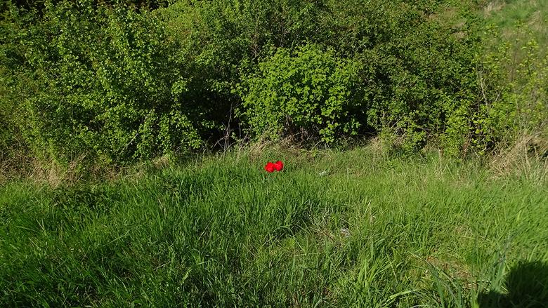 Verdwaalde tulpen  -