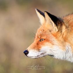 Red Fox Semmie