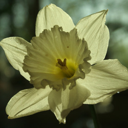 witte narcis 2