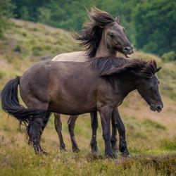 Wilde paarden spelen