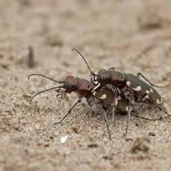 bastaardzandloopkevers