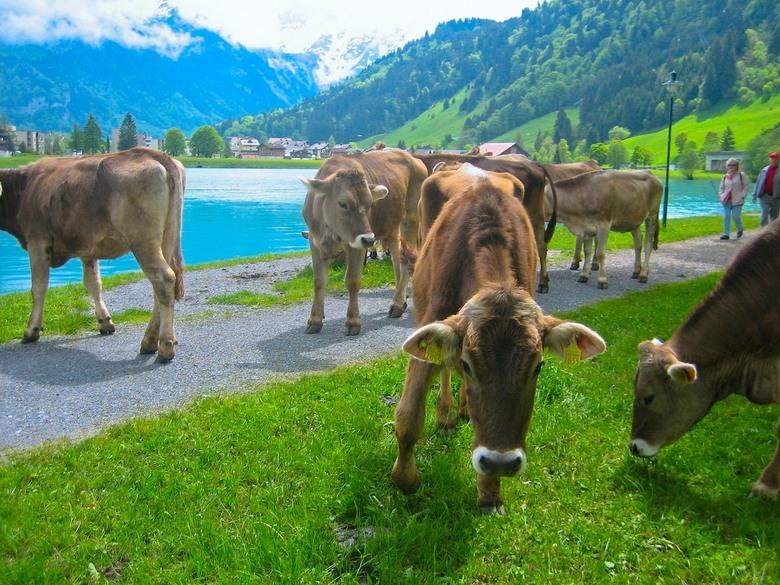 Koeien in de wei - Het ultieme lentegevoel krijg ik toch wel bij het zien van koeien in de wei. De koeien die een hele winter lang op stal staan genie