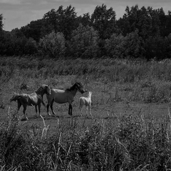 Paarden in de Hoekpolder
