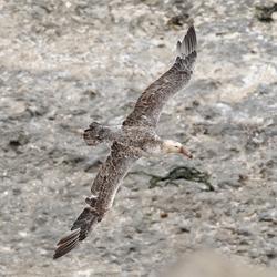 Jonge Albatros
