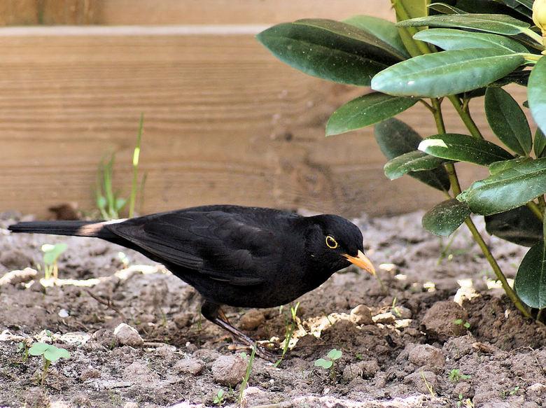 Merel - De merel was op zoek naar voedsel, En liep zo mooi door de tuin.  <br /> Al vast bedankt voor de reactie&#039;s.<br /> <br /> Mvg, Joop.